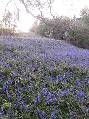 Bluebell field close up